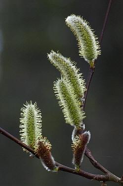 Willow (Salix sp) catkins, Wrangell-St. Elias National Park, Alaska  -  Michael Quinton