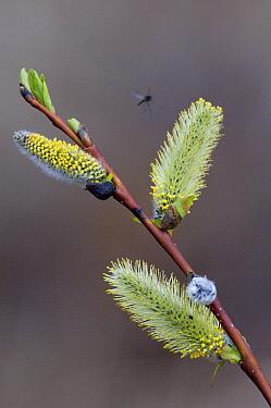 Willow (Salix sp) catkins and mosquito, Wrangell-St. Elias National Park, Alaska  -  Michael Quinton