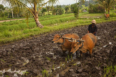 Domestic Cattle (Bos taurus) pulling plough in rice paddy, Bali, Indonesia  -  Colin Monteath/ Hedgehog House