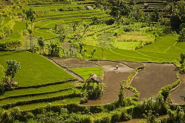 Rice (Oryza sativa) paddy fields on terraced hillside, Bali, Indonesia  -  Colin Monteath/ Hedgehog House