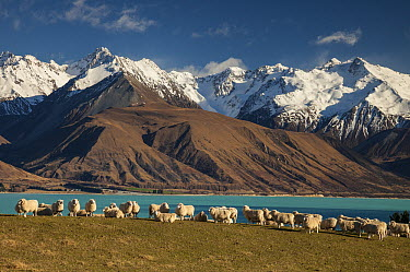 Domestic Sheep (Ovis aries) flock grazing, Lake Pukaki, Ben Ohau Range, Mackenzie Country, Canterbury, South Island, New Zealand  -  Colin Monteath/ Hedgehog House
