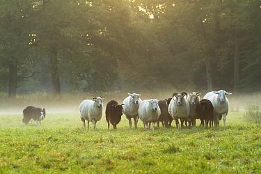 Border Collie (Canis familiaris) herding Domestic Sheep (Ovis aries) flock, Netherlands  -  Jan Dolfing/ Buiten-beeld