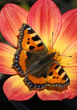Small Tortoiseshell (Aglais urticae) butterfly on flower, Netherlands  -  Wil Meinderts/ Buiten-beeld