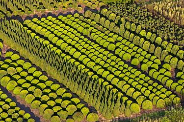 Common Boxwood (Buxus sempervirens) farm for decorative plantings, Belgium  -  Wouter Pattyn/ Buiten-beeld