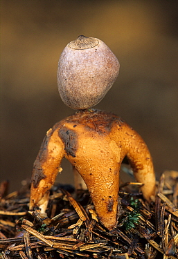 Four-footed Earthstar (Geastrum quadrifidum) mushroom, Netherlands  -  Wil Meinderts/ Buiten-beeld