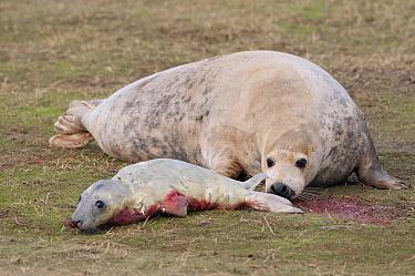 Grey Seal (Halichoerus grypus) mother smelling her newborn pup covered in blood, England  -  Paul van Hoof/ Buiten-beeld