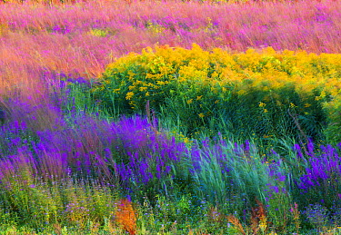 Flowering field in summer at sunset, Netherlands  -  Nico van Kappel/ Buiten-beeld