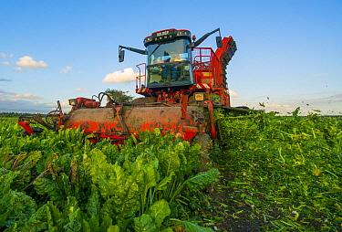 Sugar Beet (Beta vulgaris) being harvested, Netherlands  -  Nico van Kappel/ Buiten-beeld