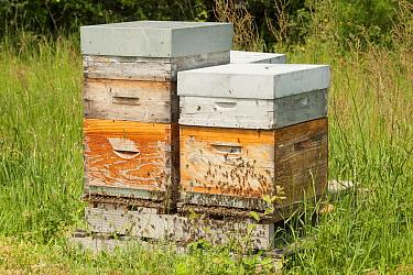 Honey Bee (Apis mellifera) boxes, France  -  Paul van Hoof/ Buiten-beeld