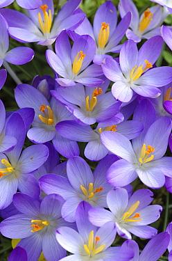 Botanical Crocus (Crocus tommasinianus) flowers, Netherlands  -  Hannie Joziasse/ Buiten-beeld