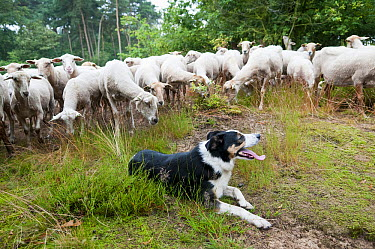 Border Collie (Canis familiaris) and Domestic Sheep (Ovis aries) flock, Netherlands  -  Janko van Beek/ Buiten-beeld
