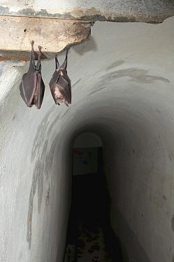 Greater Horseshoe Bat (Rhinolophus ferrumequinum) pair roosting in building, Belgium  -  Karl Van Ginderdeuren/ Buiten-be