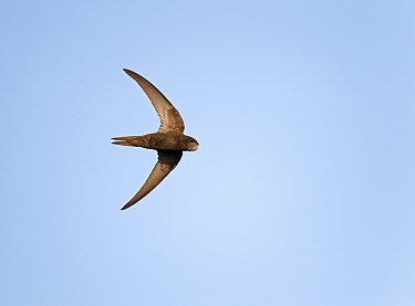 Common Swift (Apus apus) flying, Netherlands  -  Ran Schols/ Buiten-beeld
