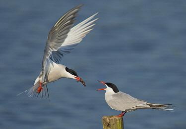 Common Tern (Sterna hirundo) pair exchanging fish in mating ritual, Belgium  -  Martin Steenhaut/ Buiten-beeld