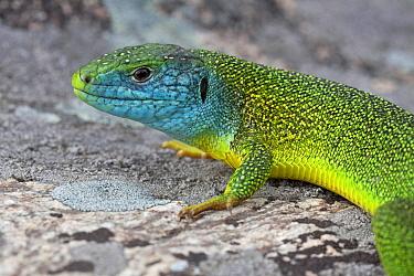 Western Green Lizard (Lacerta bilineata) male, Switzerland  -  Klaas van Haeringen/ Buiten-beel