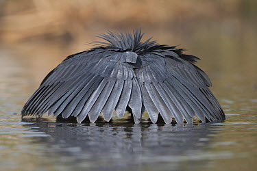 Black Heron (Egretta ardesiaca) fishing by using wings to make an umbrella which casts a shadow over the water, Gambia  -  Seraf van der Putten/ Buiten-bee