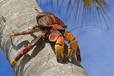 Coconut Crab (Birgus latro) in tree, largest terrestrial invertebrate capable of stripping the husk off and opening coconuts, they have also been seen cracking the extremely hard shells of macadamia n...  -  Wil Meinderts/ Buiten-beeld