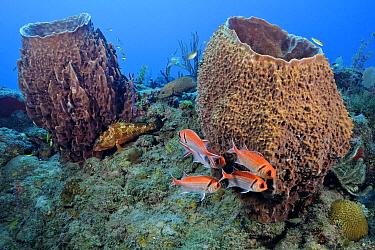 Stove Pipe Sponge (Aplysina archeri) pair, Aruba, West Indies, Caribbean  -  Ron Offermans/ Buiten-beeld