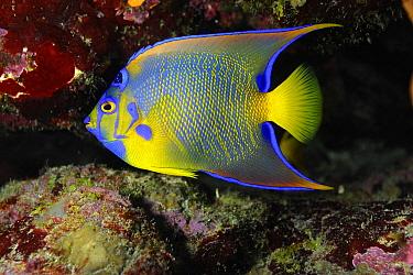Queen Angelfish (Holacanthus ciliaris), Aruba, West Indies, Caribbean  -  Ron Offermans/ Buiten-beeld