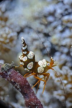 Squat Anemone Shrimp (Thor amboinensis), Lembeh Strait, Sulawesi, Indonesia  -  Ron Offermans/ Buiten-beeld