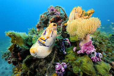 Ink-spot Ascidian (Polycarpa aurata) on coral reef, Lembeh Strait, Sulawesi, Indonesia  -  Ron Offermans/ Buiten-beeld