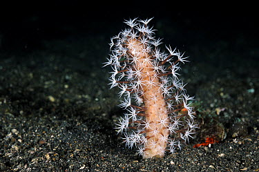 Coral (Paraminabea sp) with polyps extended to feed, Lembeh Strait, Indonesia  -  Ron Offermans/ Buiten-beeld