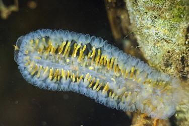 Freshwater Bryozoan (Cristatella mucedo), Netherlands  -  Ron Offermans/ Buiten-beeld