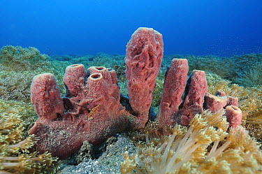 Stove Pipe Sponge (Aplysina archeri), Lembeh Strait, Indonesia  -  Ron Offermans/ Buiten-beeld