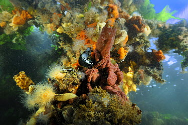 Leach's Compound Ascidian (Botrylloides leachi) in coral reef on abandoned ship wreck, Netherlands  -  Ron Offermans/ Buiten-beeld