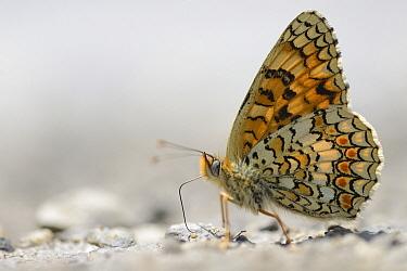Knapweed Fritillary (Melitaea phoebe) butterfly feeding on minerals, France  -  Michel Geven/ Buiten-beeld
