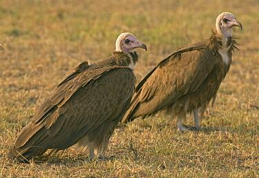 Hooded Vulture (Necrosyrtes monachus) pair, Masai Mara, Kenya  -  Rob Nagtegaal/ Buiten-beeld