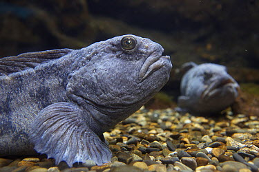 Atlantic Wolffish (Anarhichas lupus) pair, France  -  Luc Hoogenstein/ Buiten-beeld
