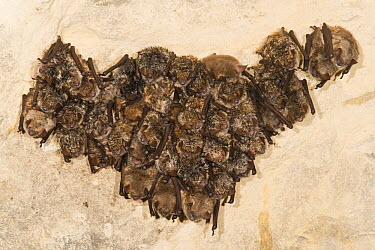 Geoffroy's Bat (Myotis emarginatus) group and one Natterer's Bat (Myotis nattereri) hibernating in limestone quarry, Netherlands  -  Paul van Hoof/ Buiten-beeld