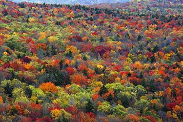 Deciduous forest in autumn, Blue Ridge Parkway, Virginia  -  Hiroya Minakuchi