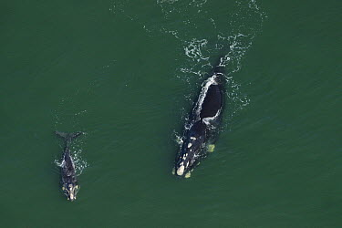 Southern Right Whale (Eubalaena australis) mother and calf surfacing, South Africa  -  Hiroya Minakuchi