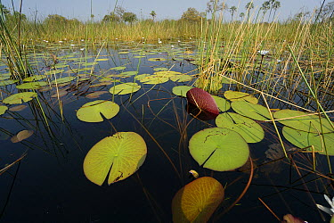 Water Lily (Nymphaea sp) pads, Okavango Delta, Botswana  -  Hiroya Minakuchi