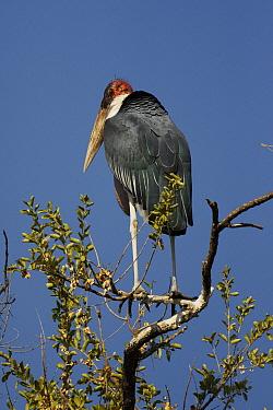 Marabou Stork (Leptoptilos crumeniferus), Okavango Delta, Botswana  -  Hiroya Minakuchi