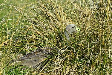 Cape Barren Goose (Cereopsis novaehollandiae) incubating eggs on nest hidden in tussock grass, Maria Island National Park, Tasmania, Australia  -  D. Parer & E. Parer-Cook