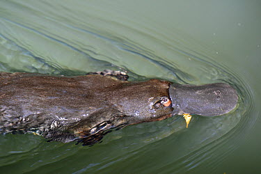 Platypus (Ornithorhynchus anatinus) swimming on surface, Atherton Tableland, Queensland, Australia  -  D. Parer & E. Parer-Cook