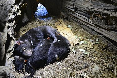 Tasmanian Devil (Sarcophilus harrisii) mother with six month old joeys curled up in den, Central Highlands, Tasmania, Australia  -  D. Parer & E. Parer-Cook