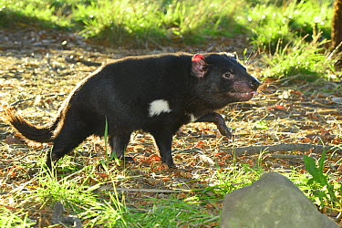 Tasmanian Devil (Sarcophilus harrisii) male, Central Highlands, Tasmania, Australia  -  D. Parer & E. Parer-Cook