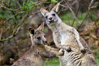 Eastern Grey Kangaroo (Macropus giganteus) male joey practice fighting with his mother, northeastern Tasmania, Australia. Sequence 3 of 4  -  D. Parer & E. Parer-Cook