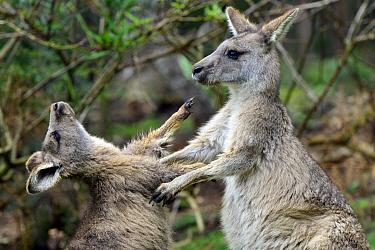 Eastern Grey Kangaroo (Macropus giganteus) male joey practice fighting with his mother, northeastern Tasmania, Australia. Sequence 4 of 4  -  D. Parer & E. Parer-Cook