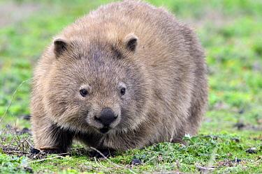 Common Wombat (Vombatus ursinus) on lawn, Maria Island National Park, Tasmania, Australia  -  D. Parer & E. Parer-Cook