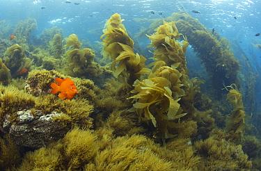 Garibaldi (Hypsypops rubicundus) in Giant Kelp (Macrocystis pyrifera) forest, Catalina Island, Channel Islands, California  -  Richard Herrmann