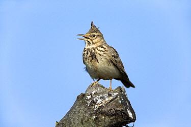 Crested Lark (Galerida cristata) calling, Alentejo, Portugal  -  Duncan Usher