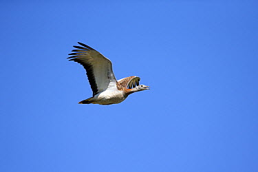 Great Bustard (Otis tarda) flying, Alentejo, Portugal  -  Duncan Usher