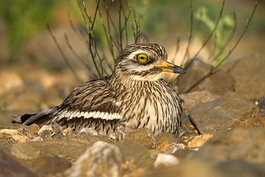 Eurasian Thick-knee (Burhinus oedicnemus) on nest, Alentejo, Portugal  -  Duncan Usher