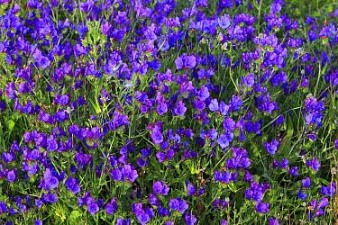 Blueweed (Echium vulgare) flowers, Alentejo, Portugal  -  Duncan Usher