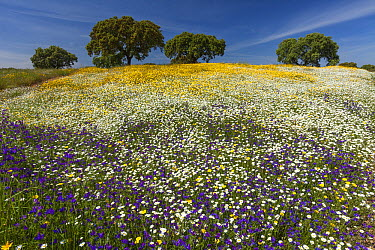 Corn Marigold (Chrysanthemum segetum), Blueweed (Echium vulgare), and Southern Daisy (Bellis sylvestris) flowers in field, Alentejo, Portugal  -  Duncan Usher